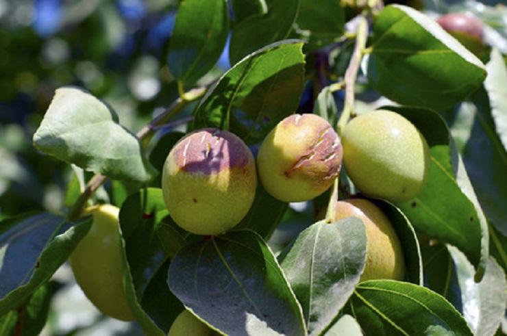 Aus den Beeren eines Strauches wird das kostbare Jojoba-Öl gewonnen. Dieser gedeiht hauptsächlich in den Wüsten von Mexico und Kalifornien , seine Wurzeln reichen bis zu 6 m tief in die Erde.