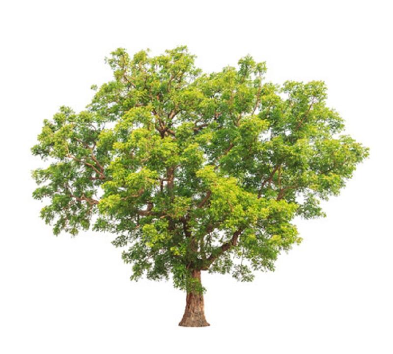 """Neemöl wird in Indien wegen seiner vielfältigen Anwendungsmöglichkeiten auch """"Dorfapotheke"""" genannt. Der Neembaum ist auch bekannt als Paradiesbaum!"""
