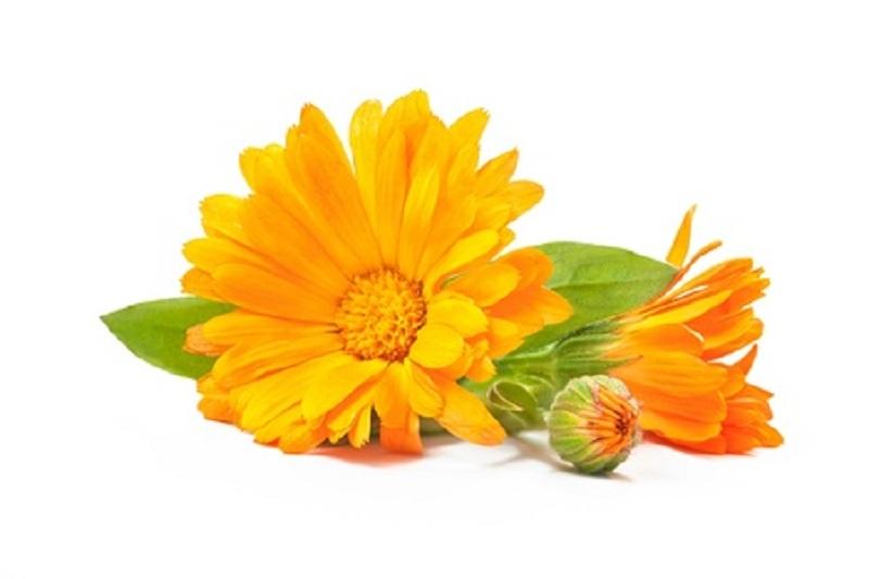 Ringelblumenöl fördert die Wundheilung und wirkt anti-entzündlich.Deshalb war es einst in Salben zu finden, die lädierte Handwerkerhände heilen sollten.
